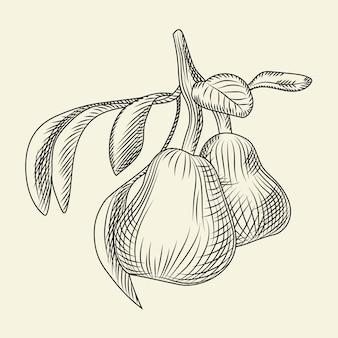 Mão-extraídas ilustração de pêra. gravura estilo vintage.