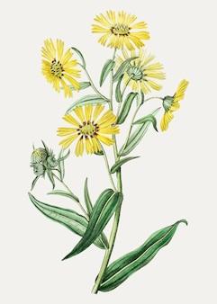 Margarida amarela