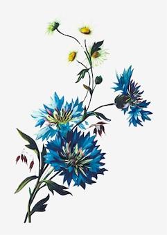 Margarida e cornflowers
