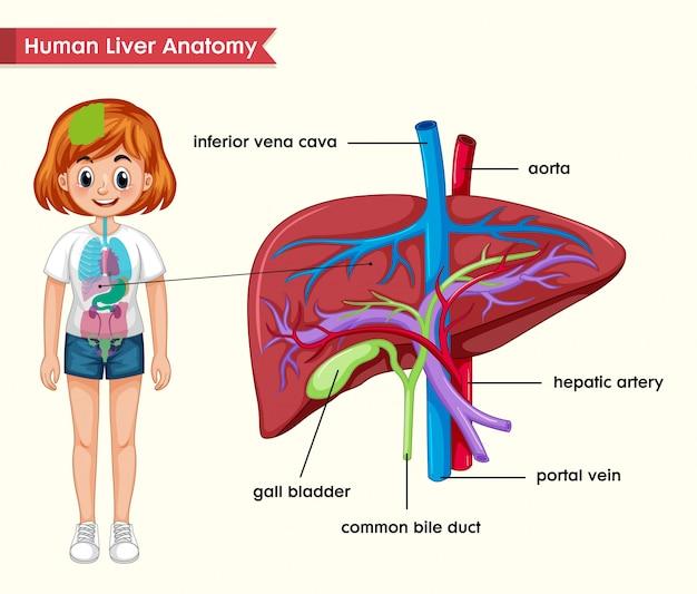 Médico científico da anatomia do fígado
