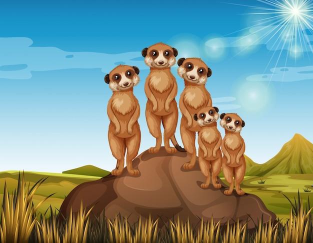 Meerkats de pé no rock