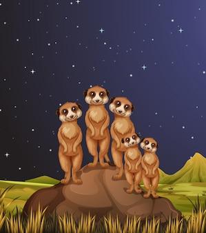 Meerkats em pé nas rochas à noite