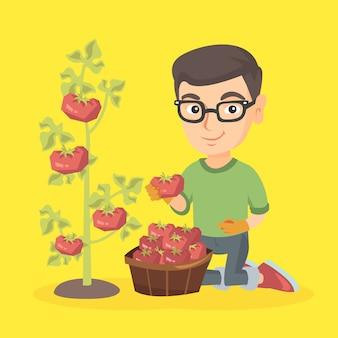 Menino caucasiano pequeno fazendeiro que colhe tomates.