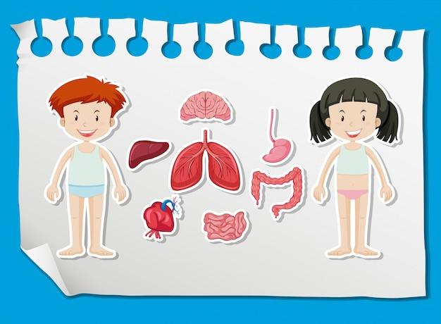 Menino e menina com diferentes órgãos no quadro