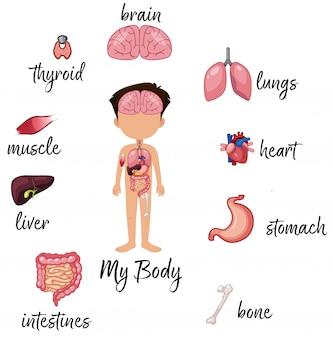 Menino, surroded, por, órgãos