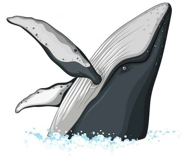 Metade do corpo da baleia jubarte