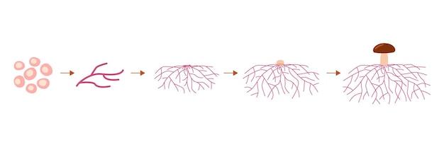 Micélio de crescimento do ciclo de vida do cogumelo a partir de esporos germinação de esporos, expansão e formação micelial