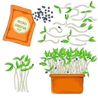 Microgreens crescendo em uma panela. alimentos saudáveis, orgânicos e saudáveis. sementes para o cultivo de microgreens
