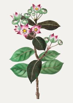 Milkweeds roxos
