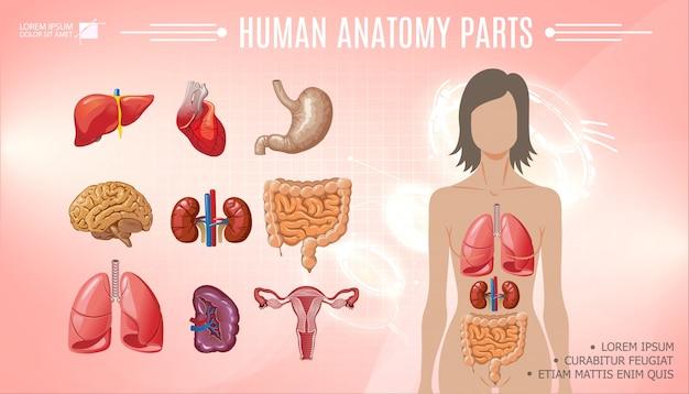 Modelo brilhante de anatomia humana dos desenhos animados com mulher corpo fígado estômago coração cérebro pulmões rins baço intestino sistema reprodutor feminino