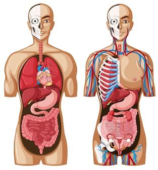 Modelo de anatomia humana com diferentes sistemas