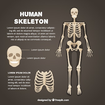 Modelo de esqueleto humano