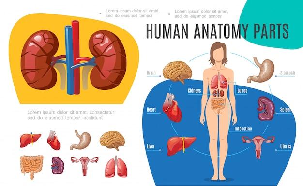 Modelo de infográfico de anatomia humana com mulher corpo cérebro estômago fígado útero coração rins pulmões intestino baço em estilo cartoon