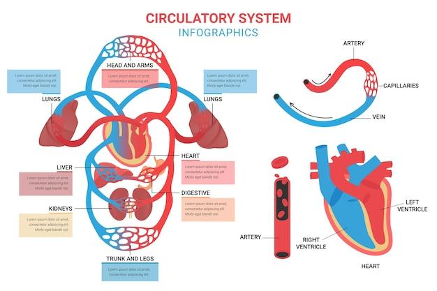 Modelo de infográfico do sistema circulatório em design plano