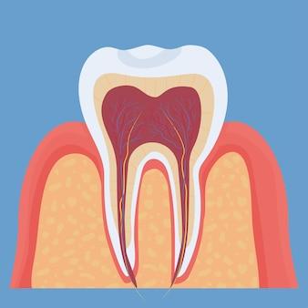 Modelo médico-odontológico da anatomia do dente humano objeto colorido detalhado