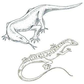 Monitor de dragão de komodo, lagarto americano, répteis exóticos ou cobras na europa. animais selvagens lacertianos na natureza.
