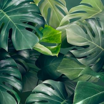 Monstera verde deixa recurso de design de plano de fundo