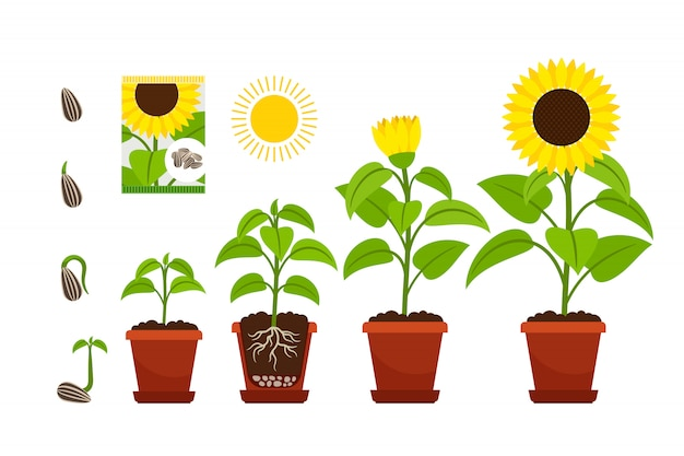 Mudas de girassóis com flores amarelas em pote isolado no branco