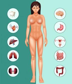Mulher e órgãos diferentes