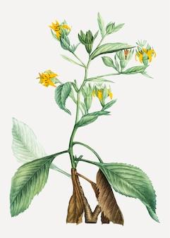 Musschia aurea planta
