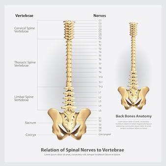 Nervos espinhais e segmentos de vértebras e ilustração de raízes