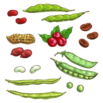 Nozes, grãos e frutos isolados. elementos de desenho vetorial de sementes de plantas, grãos de café, vagem de ervilha, feijão, bagas, amora