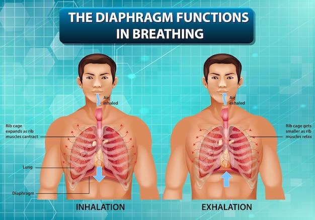 O diafragma funciona na respiração
