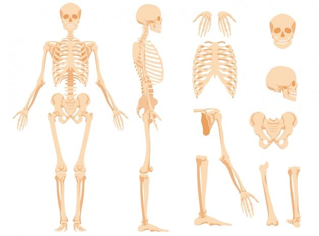 O esqueleto anatômico completo de uma pessoa e ossos individuais
