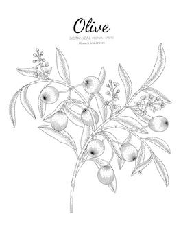 Oilve árvore botânica mão ilustrações desenhadas.