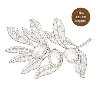 Oliveira. botânica vintage mão ilustrações desenhadas. estilo de desenho.