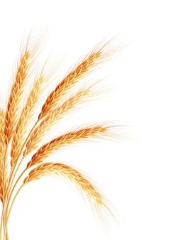 Orelha de trigo dourado após a colheita.