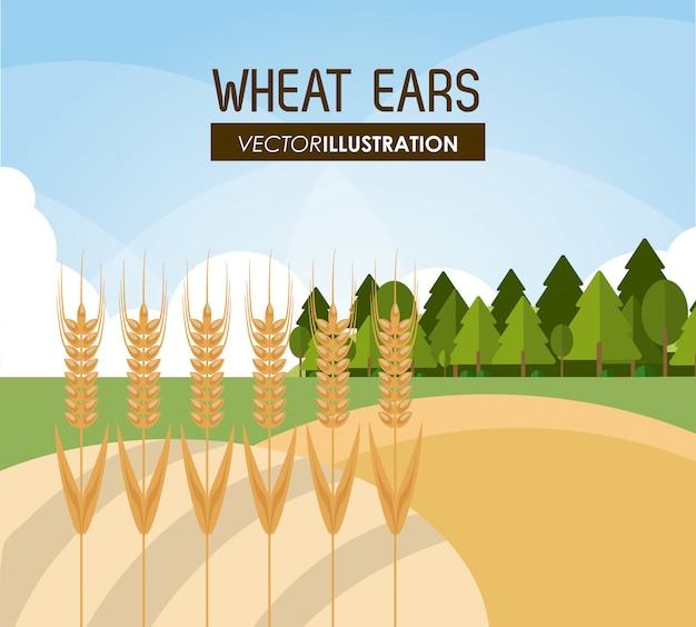 Orelhas de trigo, fazenda e conceito de agricultura, ve