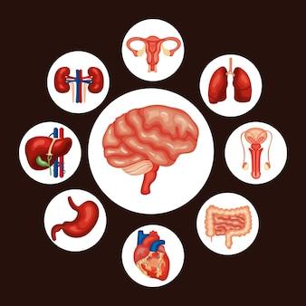 Órgãos humanos ao redor do cérebro
