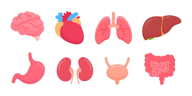 Órgãos humanos de vetor. partes internas do corpo humano conceito de estudo dos sistemas corporais.