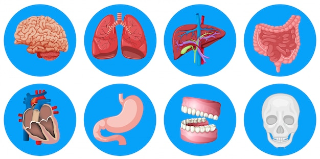 Órgãos humanos no crachá redondo