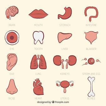 Órgãos humanos no estilo desenhado mão