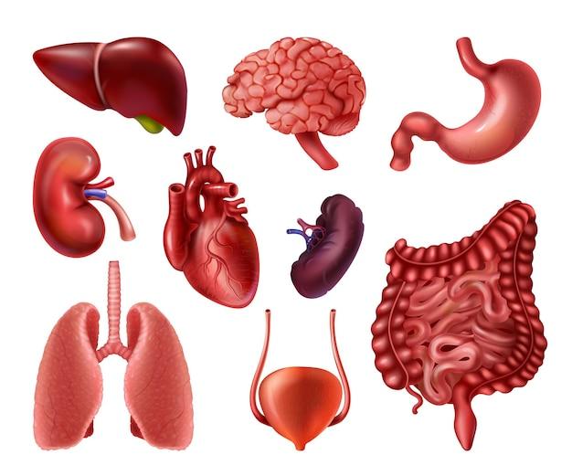 Órgãos internos elementos de infográfico de anatomia do corpo humano realista cérebro coração rins fígado pulmões
