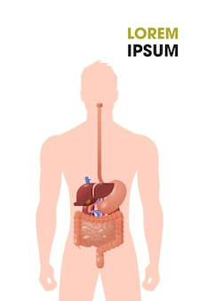 Órgãos internos humanos estrutura do trato gastrointestinal sistema digestivo cartaz médico plano vertical cópia espaço