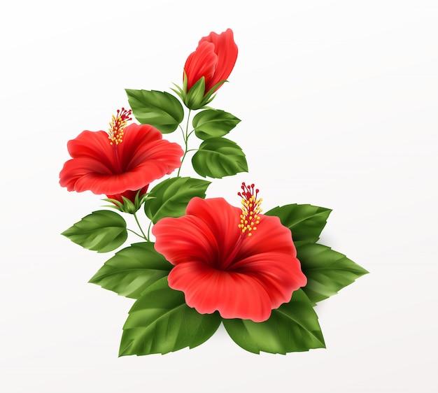 Os hibiscos bonitos florescem, brotos e folhas no fundo. planta tropical exótica realista