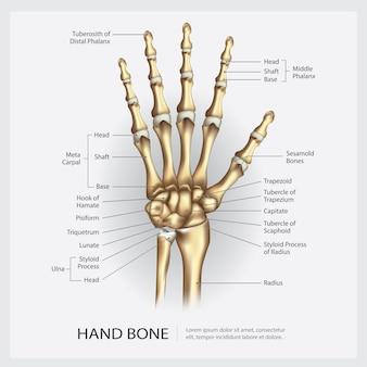 Osso de mão com ilustração de detalhe