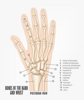 Ossos da anatomia da mão e punho