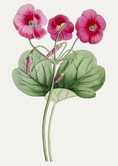 Oxalis roxos