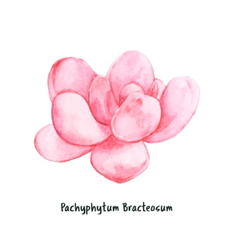 Pachyphytum bracteosum mão desenhada suculenta
