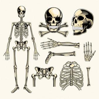 Pacote de vetores de esqueleto