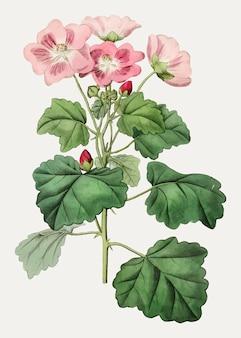 Palavia rhombifolia