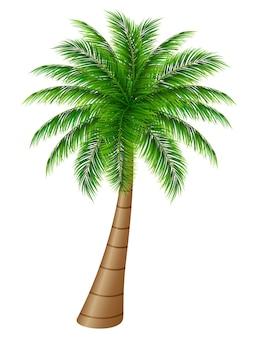 Palmeira em um fundo branco