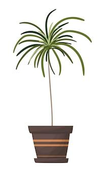 Palmeira em um vaso planta doméstica ornamental isolada no fundo branco grande planta para seu projeto
