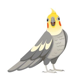 Papagaio adulto de periquito cinza normal olhando para você (nymphicus hollandicus, corella) desenho animado pássaro design ilustração em vetor plana isolada no fundo branco.
