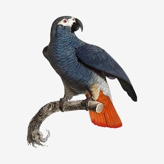 Papagaio cinzento africano