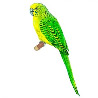 Papagaio ondulado, verde. aguarela